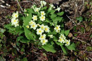 Primroses in Flower